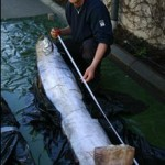 Giant herring found in Sweden