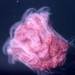 Lion S Mane Jellyfish