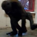 Breakdancing Gorilla Calgary