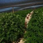 300 Acres Marijuana