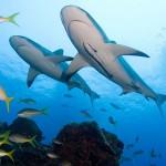 Bahamas Shark Fishing