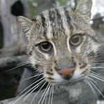 Asian Fishing Cats