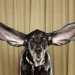 Dog Sets Longest-ear Record