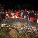 Giant Crocodile Captured Alive