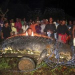 Giant Crocodile Captured Alive