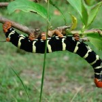 What Causes Zombie Caterpillars?