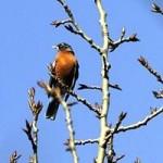 Robins West Nile