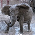 Elephant Up To 15,000 Pounds