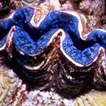 500 Pound Giant Clam