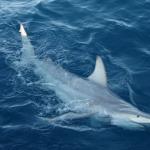 First Hybrid Sharks