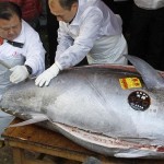 Giant Bluefin Tuna £472,000