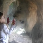 Girl Stares Down Lion