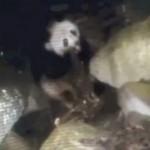 Meat Eating Panda Video