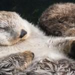 Milo Sea Otter