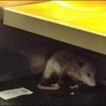 Possum NYC Subway
