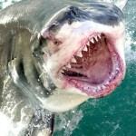 Recent Fatal Shark Attacks In Australia