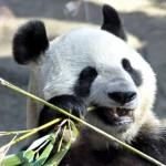 World's Oldest Panda 34